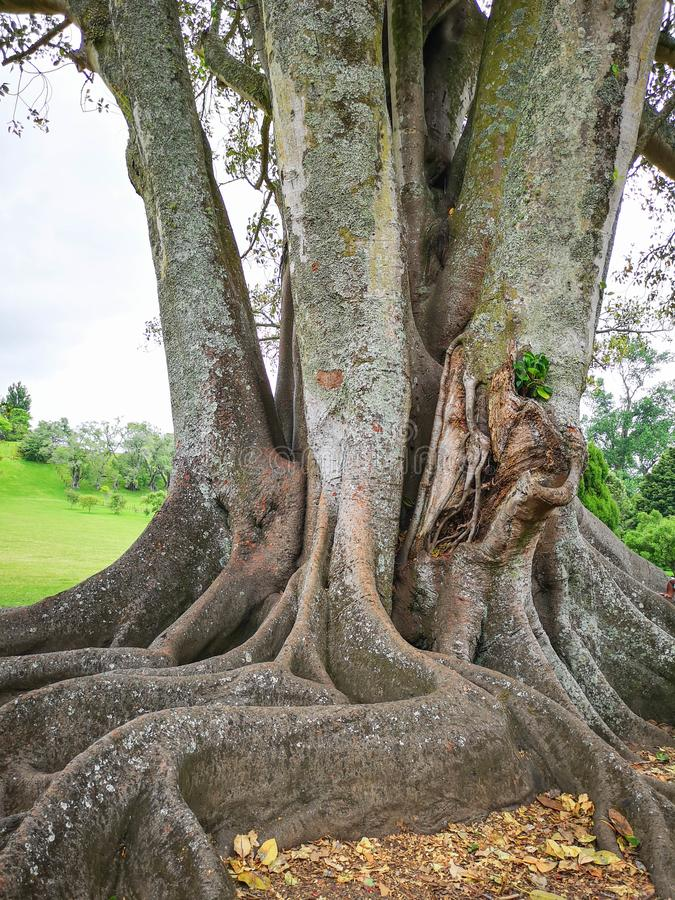 Grote boom in Cornwall park auckland Dit beeld behoort tot reeks die pics met id's omvat: 16095740, 16095345, 16095332, 16095305, royalty-vrije stock afbeelding