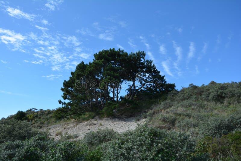 Grote boom in de duinen op het Noordzeestrand stock afbeeldingen