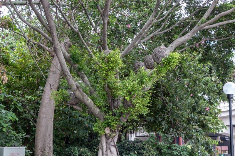 Grote boom in het park Op de boom zijn vogelnesten van takken Groen gebladerte, dik hout royalty-vrije stock foto