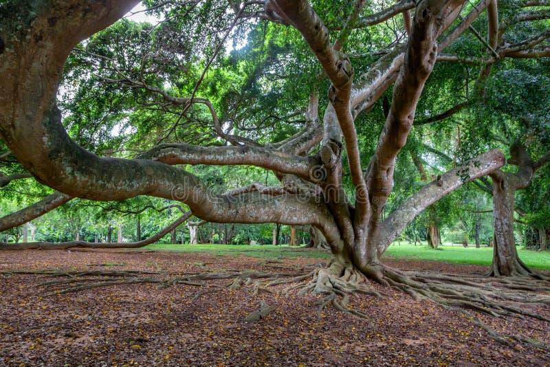 Grote boom in Koninklijke Tuinen van Peradenia stock afbeelding