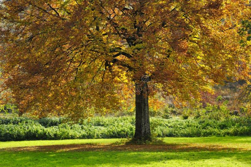 Grote boom met de herfstbladeren stock foto's