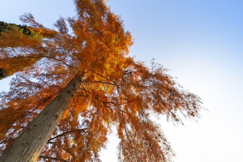 Grote boom met rode bladeren stock afbeelding