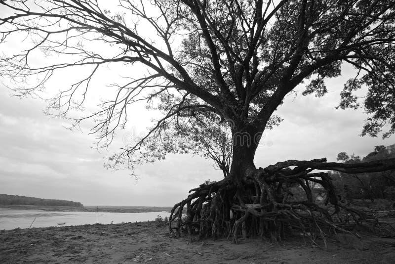 Grote boom met wortel boven het vuil stock afbeelding
