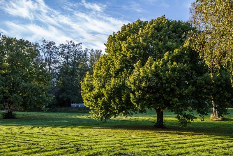 Grote boom in park stock foto