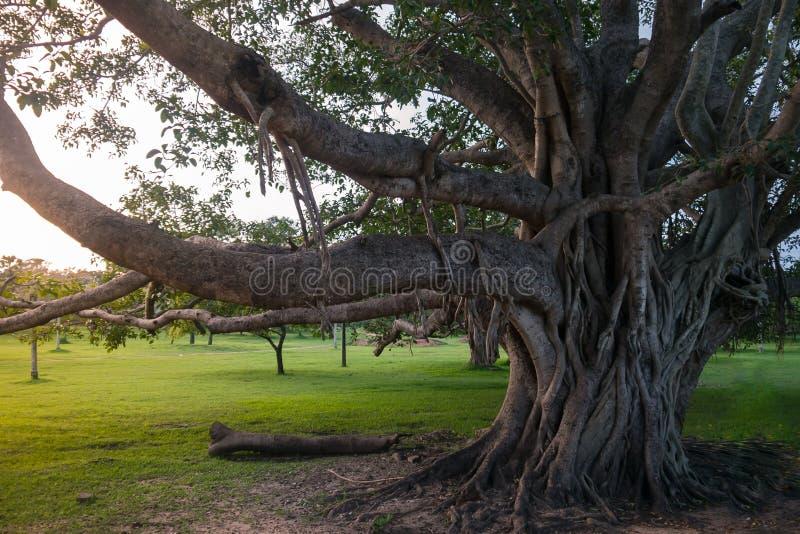 Grote Boom Sycomoorboom in Sri Lanka royalty-vrije stock foto's