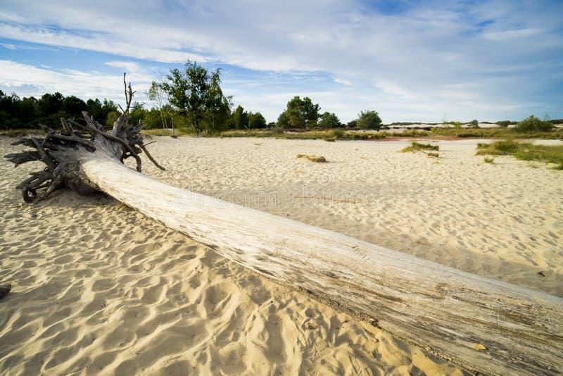 Grote boomboomstam in zand van nationaal park Loonse Engelse Drunense Duinen, Nederland royalty-vrije stock fotografie