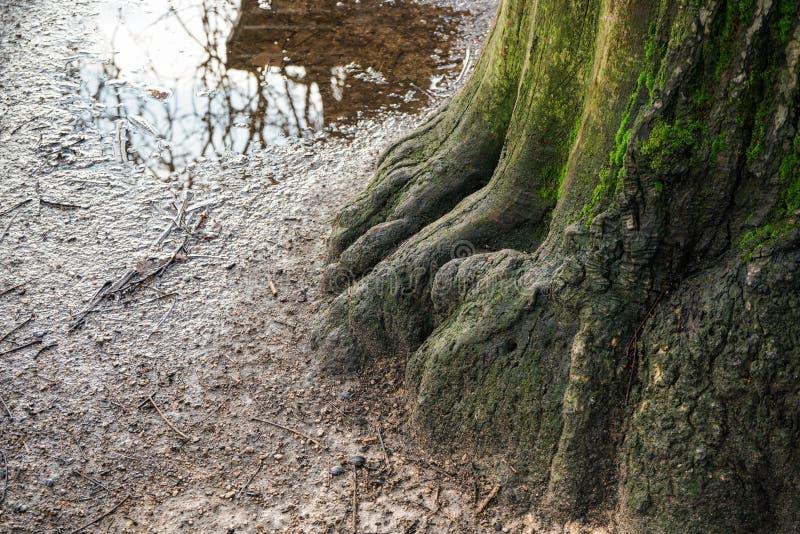 Grote boomstam en wortels bedekt met groene mos, kleine puddle van regen op de achtergrond, in het openbare park royalty-vrije stock afbeeldingen