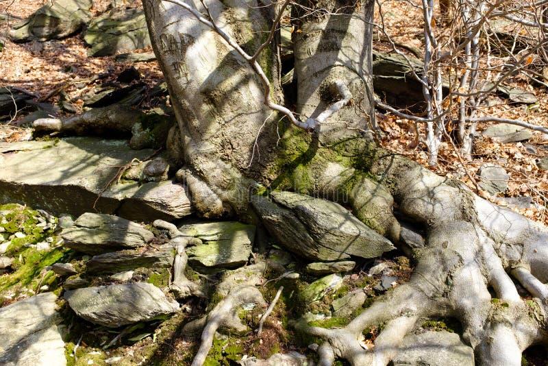 Grote boomwortels in een bos royalty-vrije stock foto