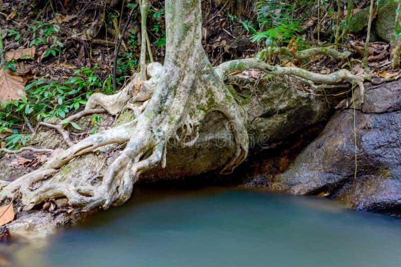 Grote boomwortels op steen boven rivier in tropisch regenwoud stock afbeelding