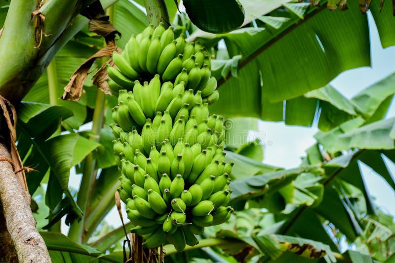 Grote bos van jonge groene bananen die in het tropische bos groeien stock afbeeldingen