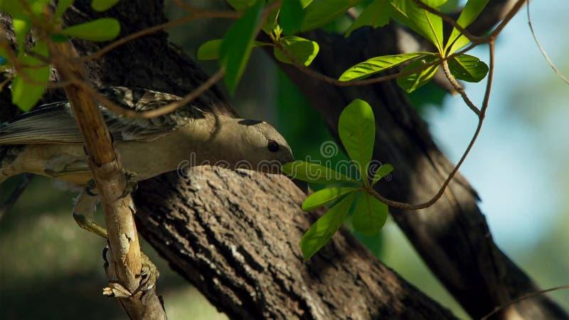 Grote bowerbird bouwt inzameling van meestal kunstmatige voorwerpen en de hoop zal op een bezoekend wijfje in Townsville, Austral royalty-vrije stock afbeeldingen
