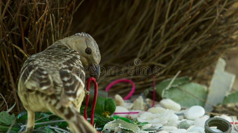Grote bowerbird bouwt inzameling van meestal kunstmatige voorwerpen en de hoop zal op een bezoekend wijfje in Townsville, Austral stock foto