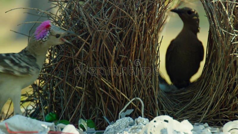 Grote bowerbird bouwt inzameling van meestal kunstmatige voorwerpen en de hoop zal op een bezoekend wijfje in Townsville, Austral stock afbeelding