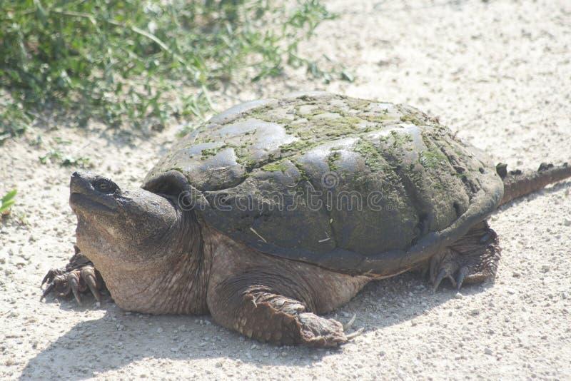 Grote Brekende Schildpad stock afbeelding