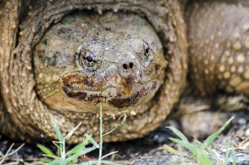 Grote Brekende Schildpad dicht omhoog stock foto's