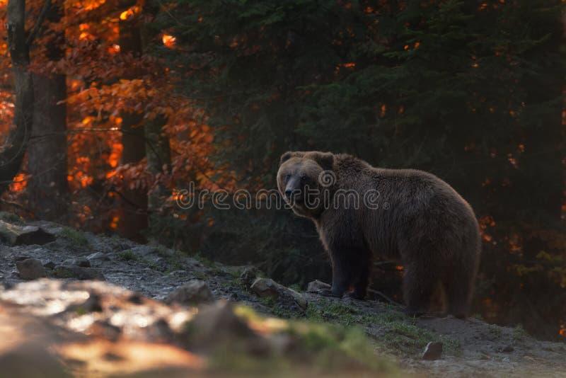 Grote Bruin draagt Tribunes op de Achtergrond van de Autumn Forest And Looks Into Your-Ogen Ursus Bruine Arctos draagt op de Berg royalty-vrije stock foto's