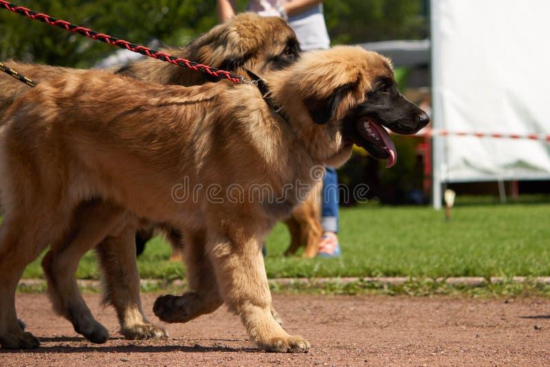 Grote bruine honden op leiband stock fotografie