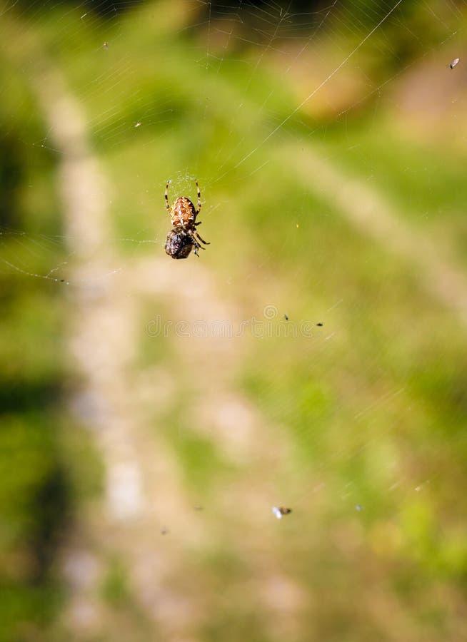 Grote bruine kruisspin die insecten in zijn net vangen royalty-vrije stock afbeelding