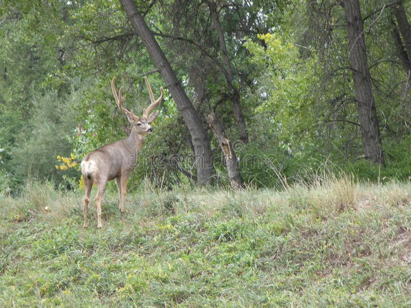 Grote Buck Deer Boulder Colorado City-grenzen royalty-vrije stock foto's