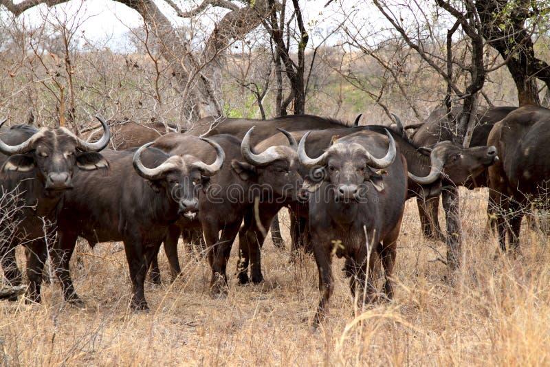 Grote Buffelskudde stock afbeeldingen