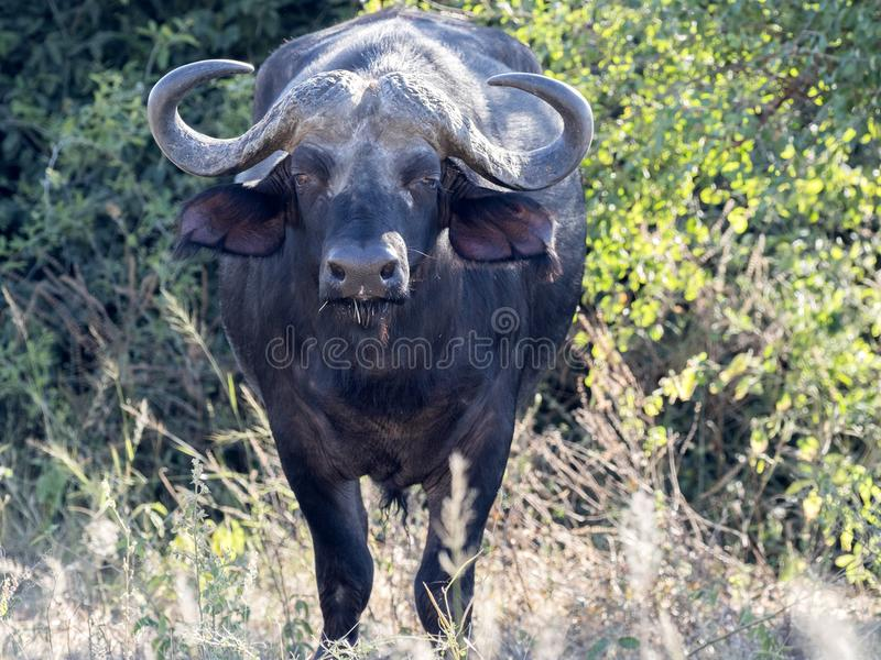Grote buffelsstier, Syncerus c caffer, het Nationale Park van Chobe, Botswana stock foto's
