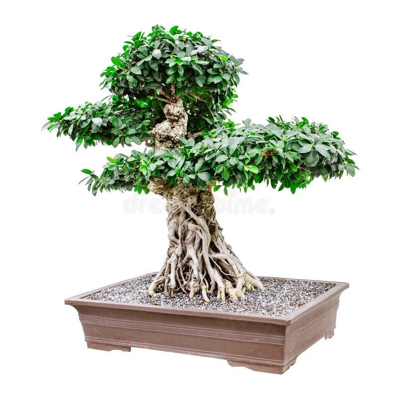 Grote, buitensporige bonsaiboom royalty-vrije stock foto