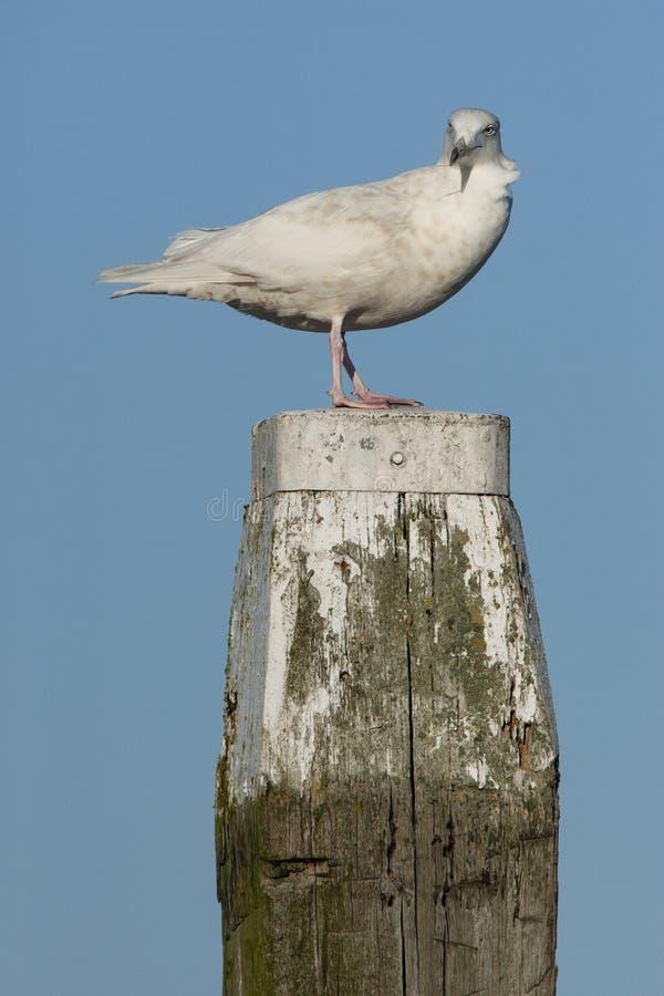 Grote Burgemeester, Glaucous Gull, Larus hyperboreus. Onvolwassen Grote Burgemeester, Immature Glaucous Gull royalty free stock photo