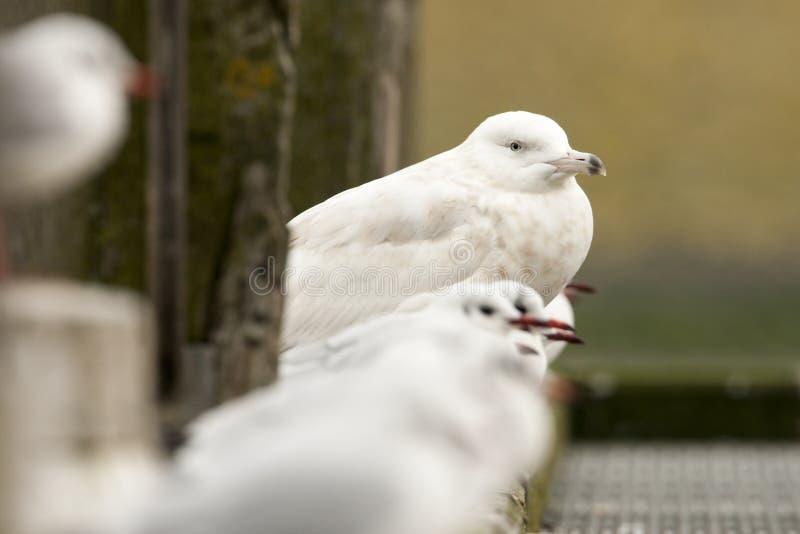 Grote Burgemeester, Glaucous Gull, Larus hyperboreus. Onvolwassen Grote Burgemeester, Immature Glaucous Gull stock photos