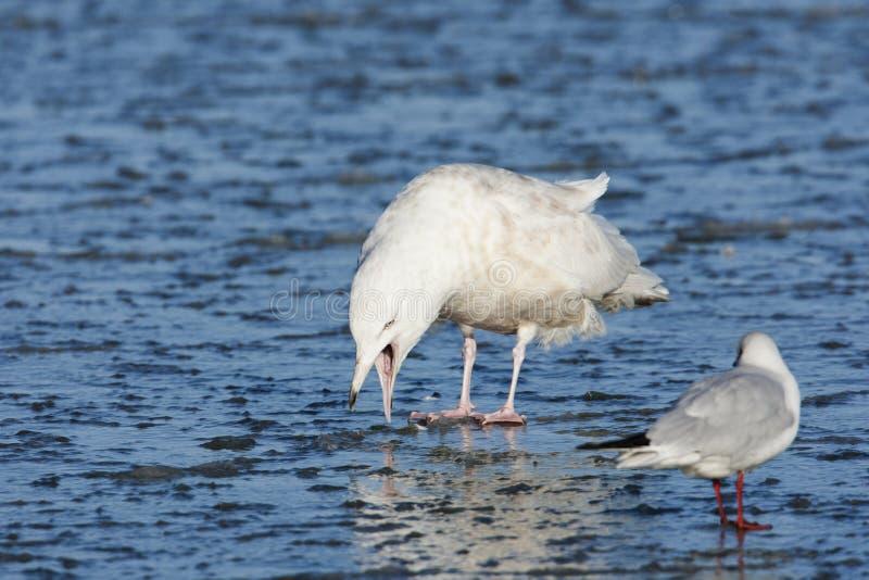Grote Burgemeester, Glaucous Gull, Larus hyperboreus. Onvolwassen Grote Burgemeester, Immature Glaucous Gull royalty free stock image