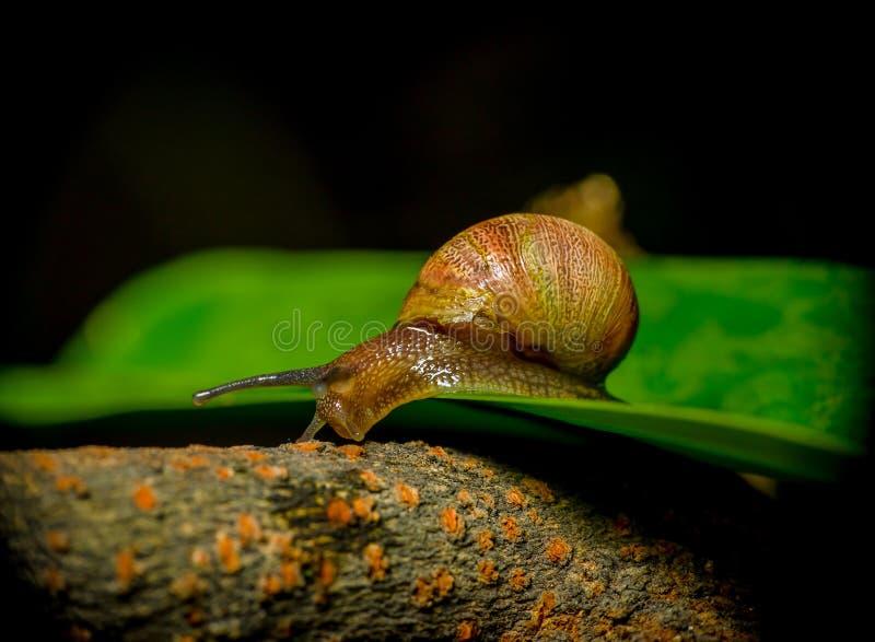 Grote close-up van donkere gekleurde slak die springen van royalty-vrije stock foto