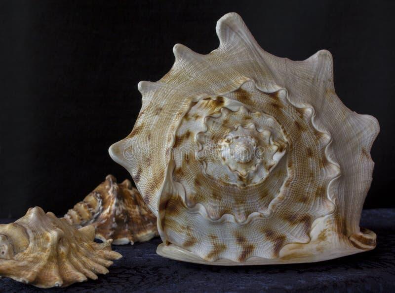 Grote cockleshell Sluit omhoog de textuur van de slakkroonslak stock afbeeldingen