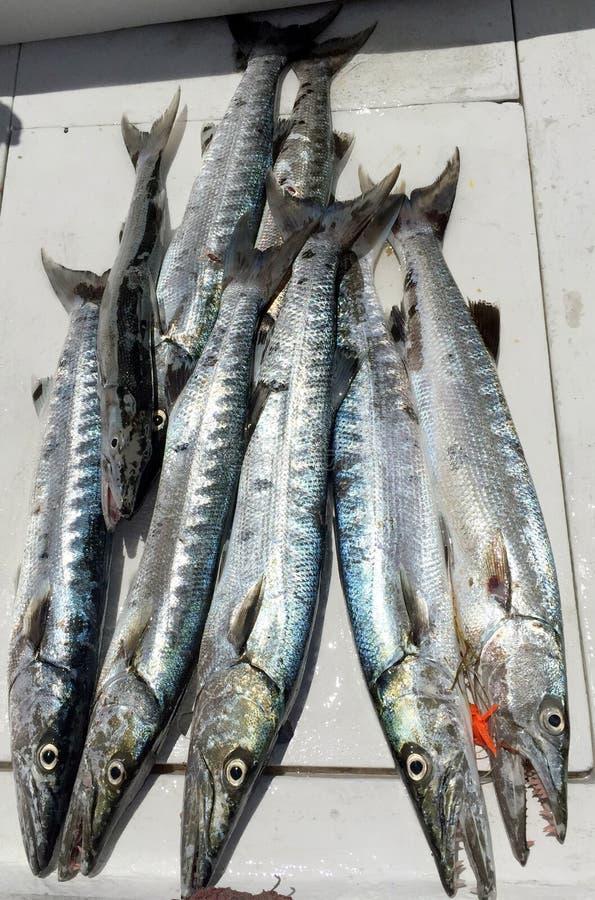 Grote dag van visserij voor barracuda royalty-vrije stock foto
