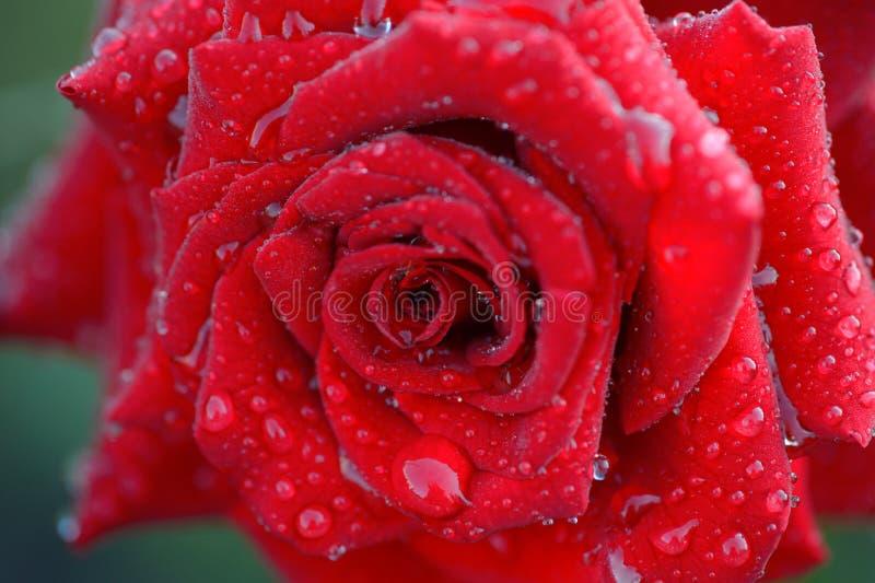 Grote dalingen van dauw op een rode roze bloem royalty-vrije stock foto