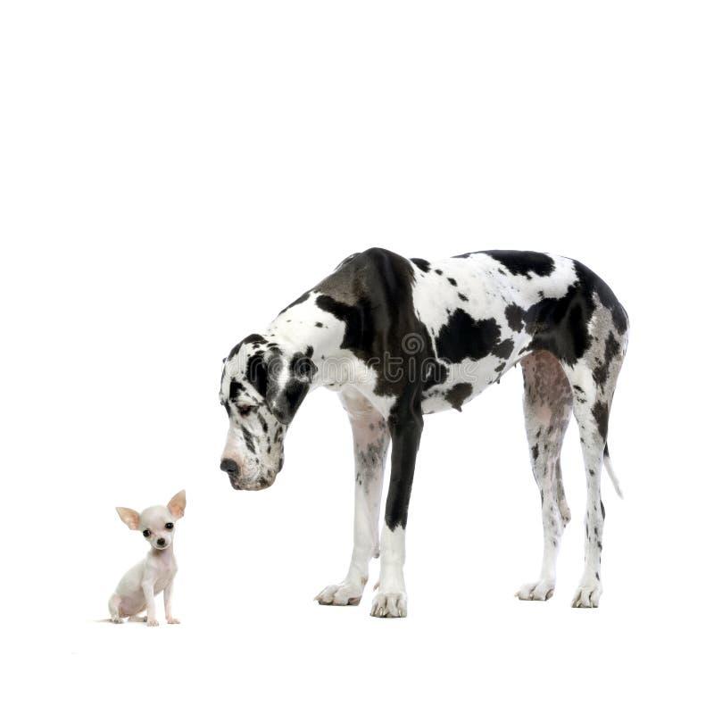 Grote Deen en Chihuahua stock afbeeldingen