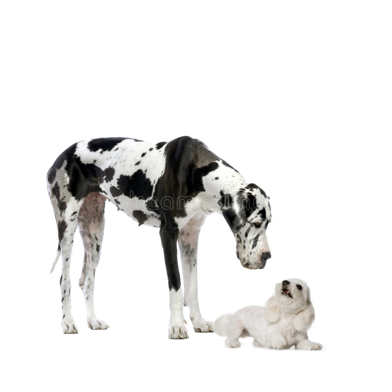 Grote Deen en Maltese hond stock foto's