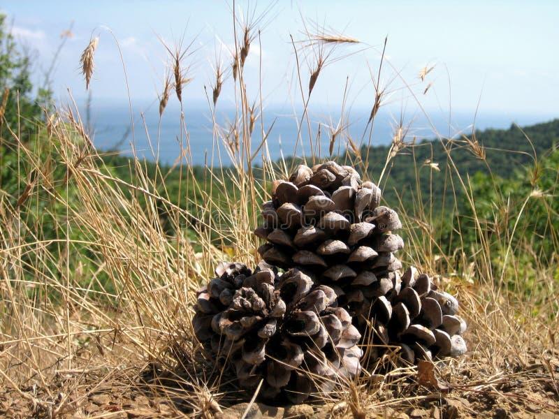 Grote denneappels onder de zuidelijke zon op droog gras op een achtergrond van dichte bossen, blauwe overzees en blauwe hemel royalty-vrije stock foto's