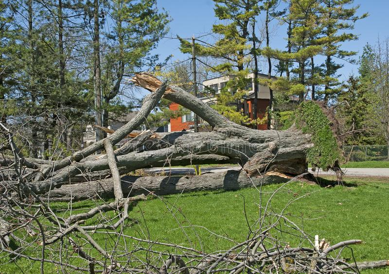 Grote die boom in het park wordt ontworteld stock foto