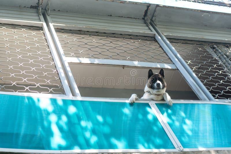 Grote die hond op wordt gezien van onderaan en balkon die, neer eruit zien royalty-vrije stock foto's