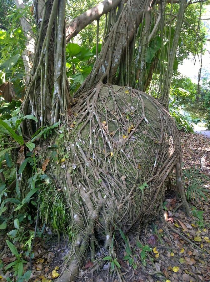 Grote die steen met de voorraadfoto van boomwortels wordt overwoekerd royalty-vrije stock foto