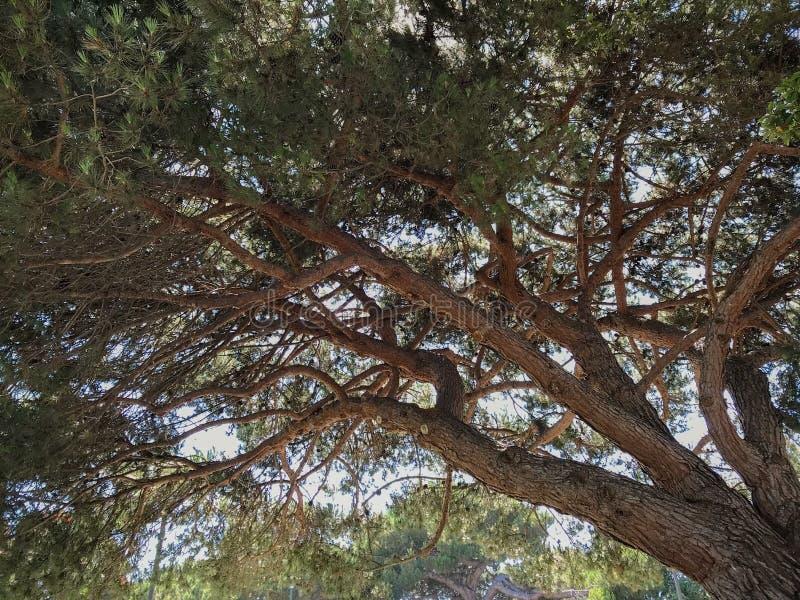 Grote Dramatische Boom in een Bos in Noordelijk Californië stock foto's