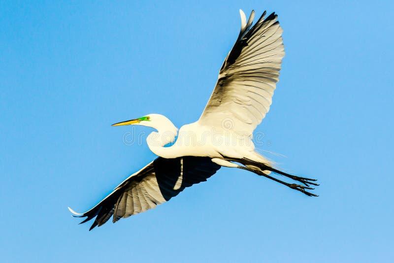 Grote Egret Soaring in Venice Rookery stock afbeeldingen