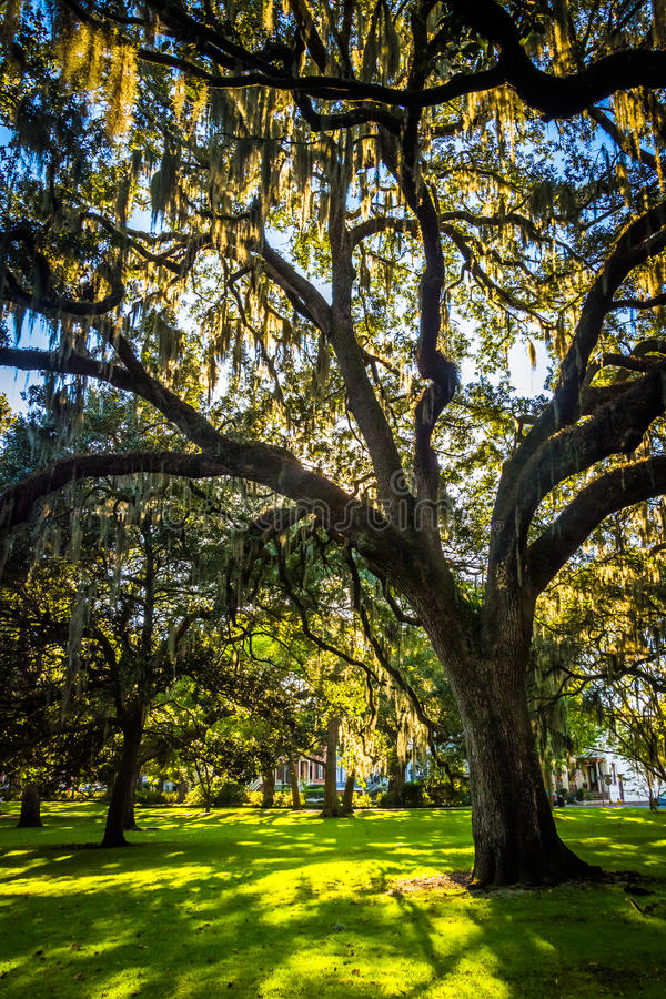 Grote eiken bomen en Spaans mos in Forsyth-Park, Savanne, Geor stock afbeeldingen
