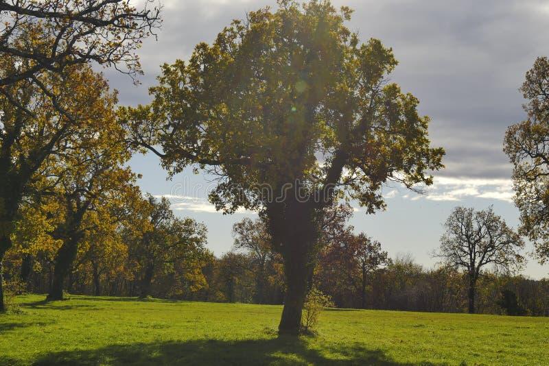 Grote eiken bomen in in het midden van het gebied royalty-vrije stock afbeeldingen