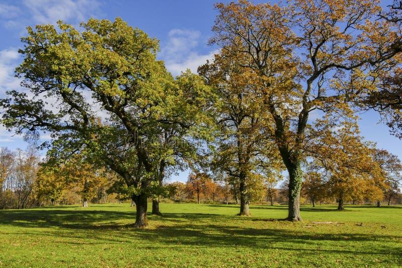 Grote eiken bomen met sterke contrastschaduwen stock foto's