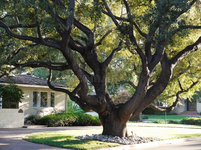 Grote Eiken boom stock afbeelding