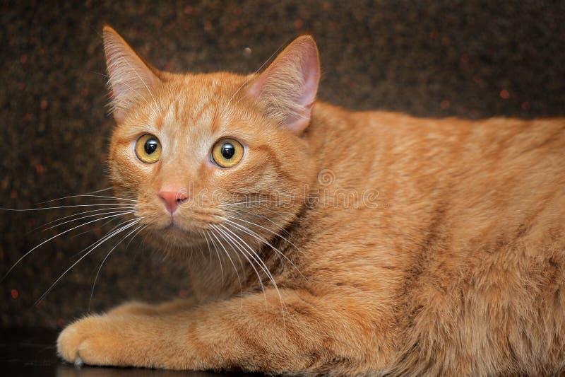 grote en mollige rode kat royalty-vrije stock foto's
