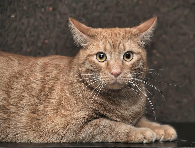 grote en mollige rode kat royalty-vrije stock foto