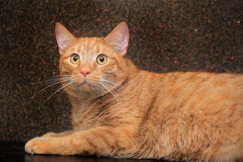 grote en mollige rode kat stock foto