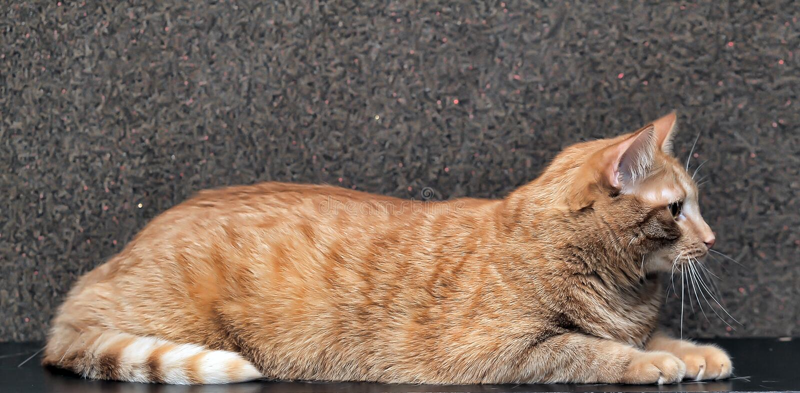 grote en mollige rode kat stock fotografie