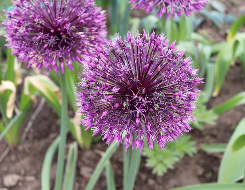 Grote en ronde purpere van de uibloemen van de bloemen Vroege keizer sier het alliumjesdianum Grote violette bollen Het allium is stock foto's